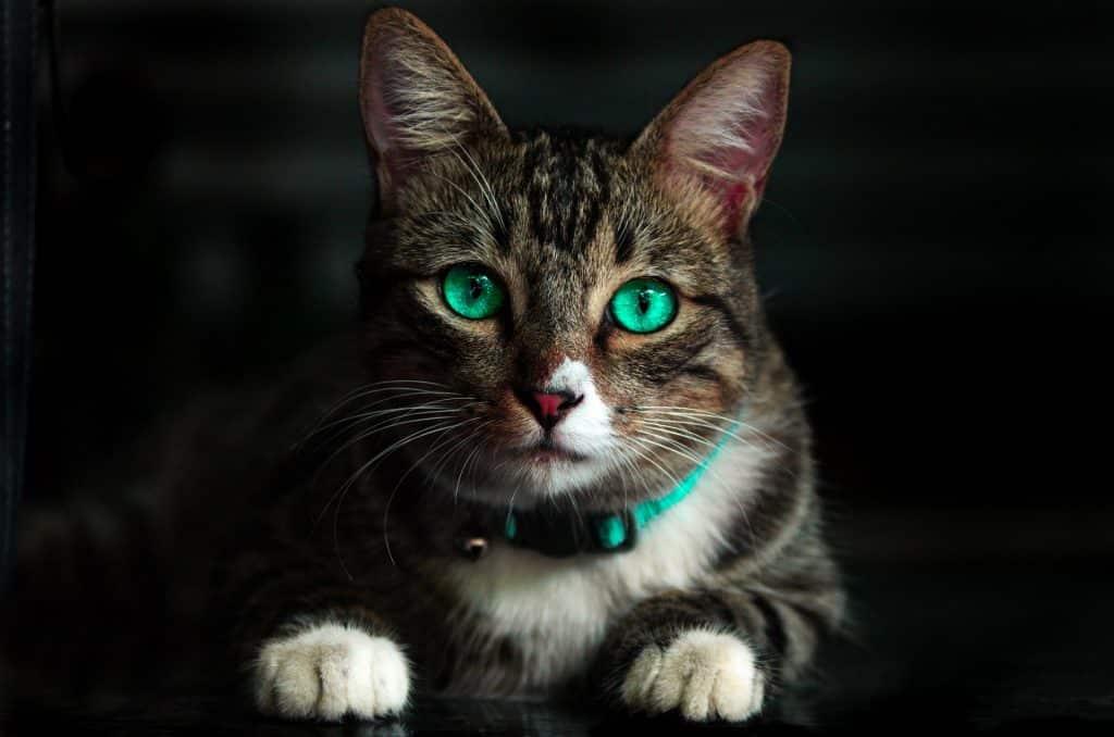 imagen de gato , para procesar con optimizilla